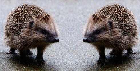 TwoHedgehogs